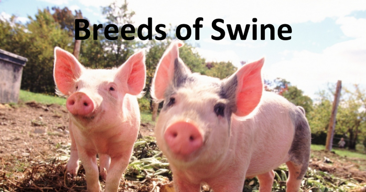 Swine Breeds, Feed, Processing