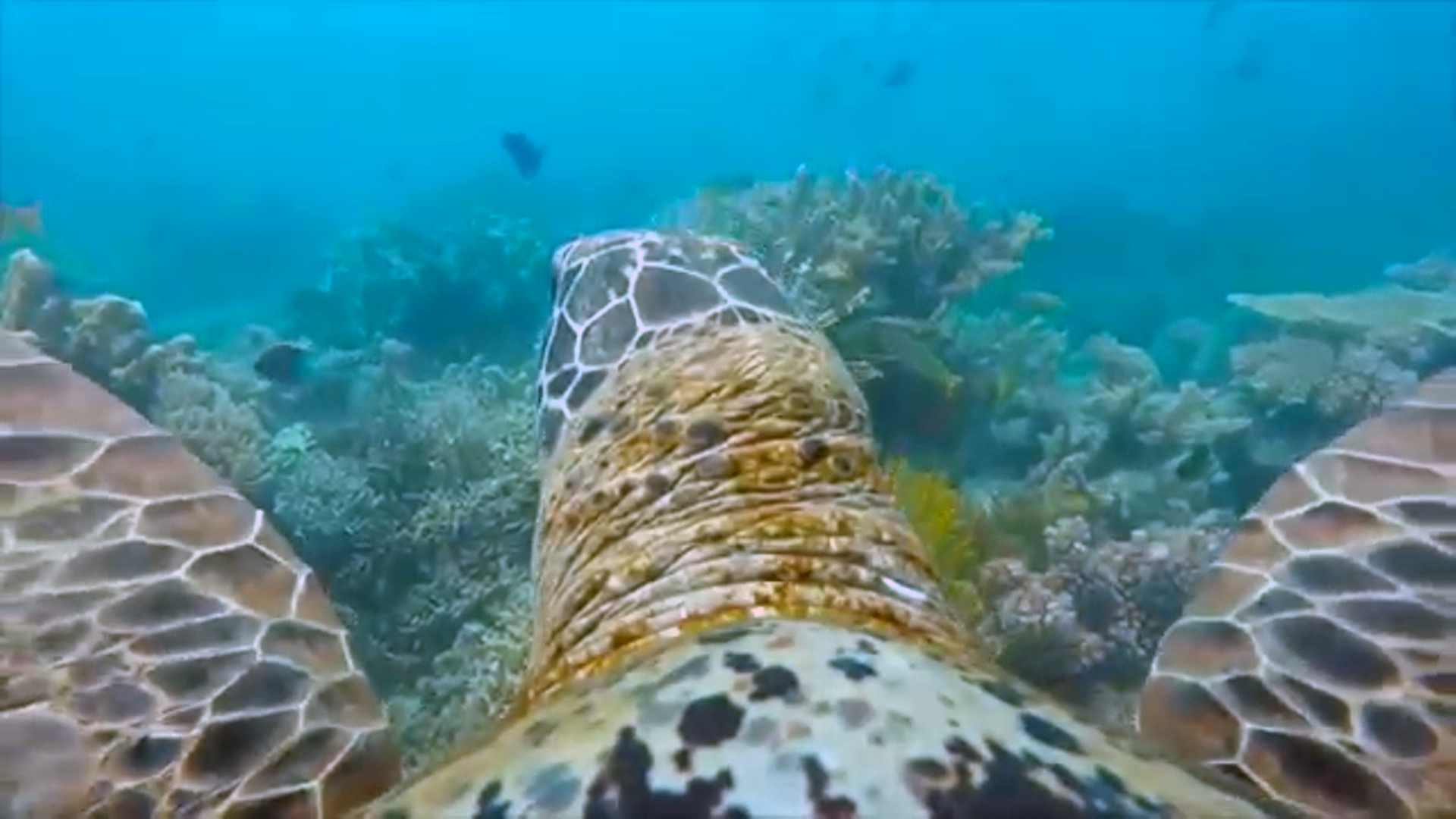 GoPro-Wearing Turtle Films Tour of Great Barrier Reef - NBC News
