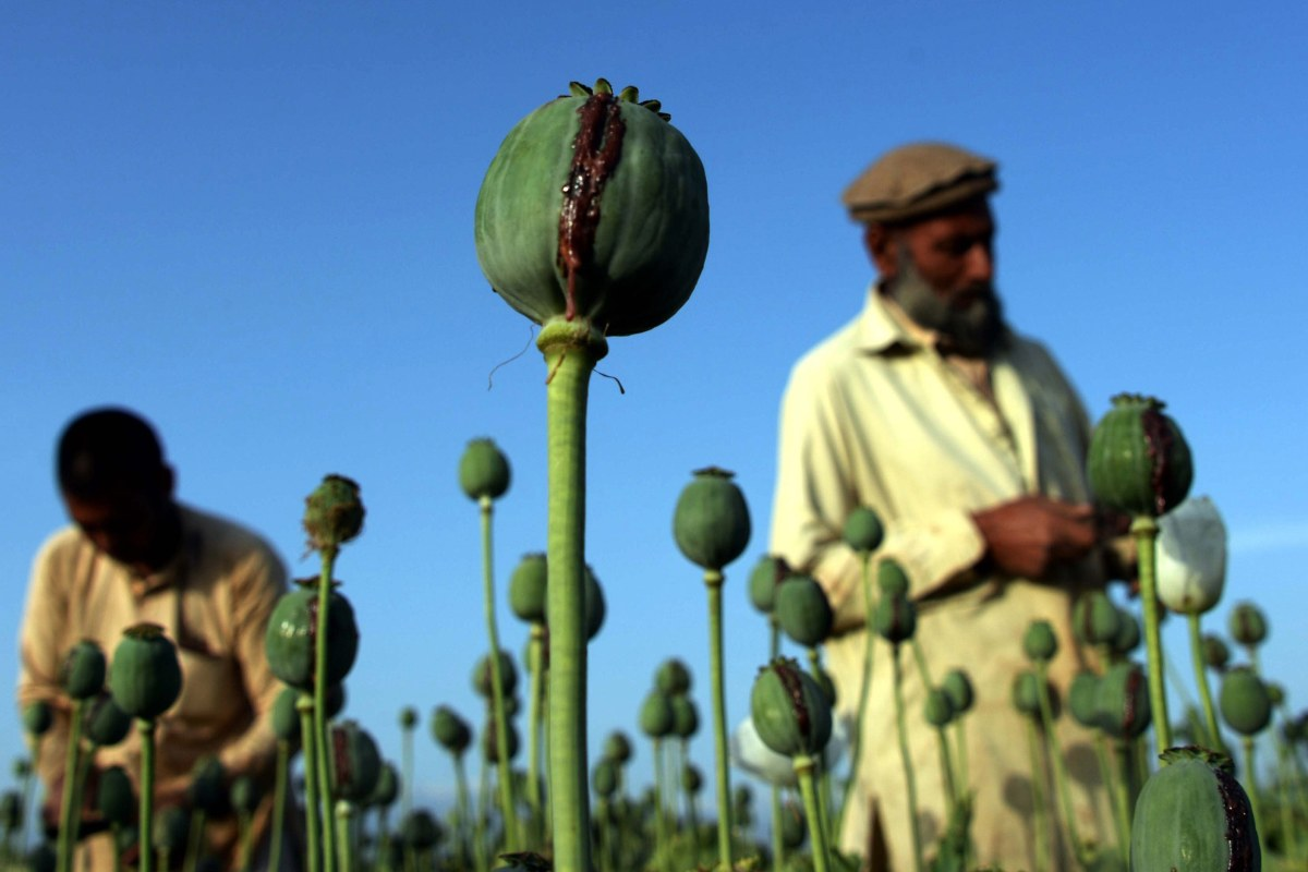 As Heroin Use Grows in U.S., Poppy Crops Thrive in Afghanistan