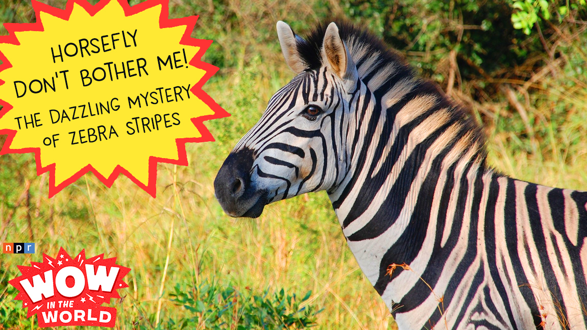 Horsefly Don't Bother Me! - The Dazzling Mystery Of Zebra Stripes