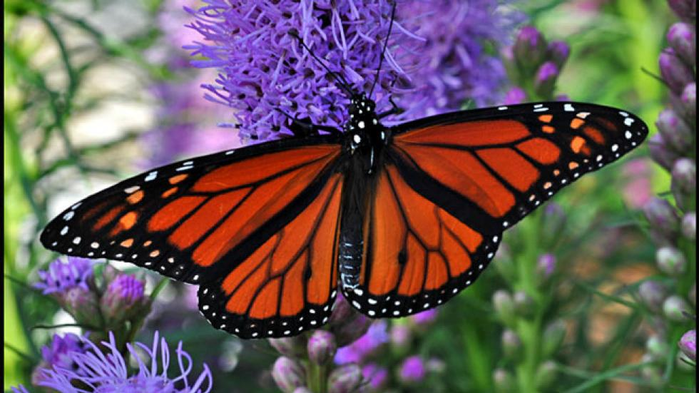 Radar Detects Monarch Butterflies in Strange Pattern Over St. Louis, Meteorologists Say - weather.com