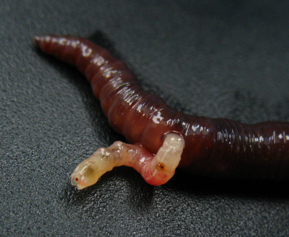 A grisly end for an earthworm...