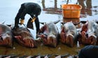 Shark fishing in Japan – a messy, blood-spattered business