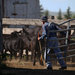 With No More Cowboys Taking Vows, Monastery Quits the Cattle Business