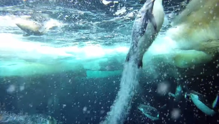 Emperor Penguins Speed Launch Out of the Water | The Kid Should See This
