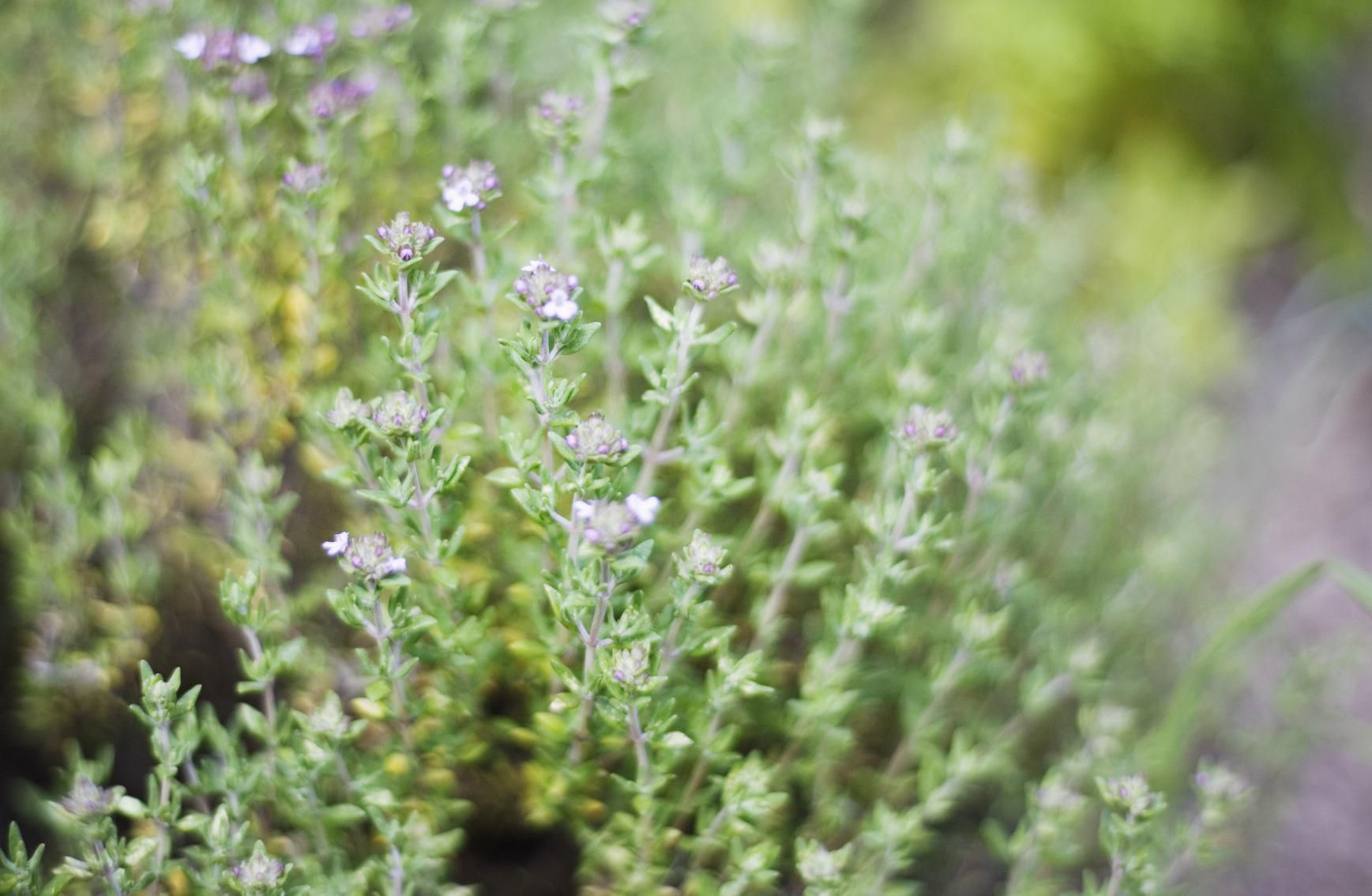 Why You Need This Easy-to-Grow Mediterranean Herb in Your Garden