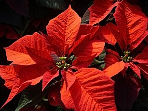 Poinsettias at Christmas on whychristmas?com